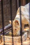 Czuje politowanie młody biały lew w klatce obrazy stock