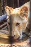 Czuje politowanie młody biały lew w klatce obraz royalty free