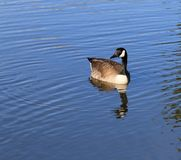 Czujna gąska Pływa wśród Koncentrycznych okregów Obraz Royalty Free