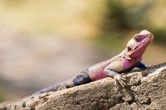 Czujna jaszczurka Obrazy Royalty Free