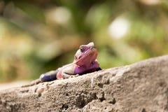 Czujna jaszczurka Fotografia Stock
