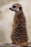 czujna meerkat strażowa pozycja Zdjęcia Stock
