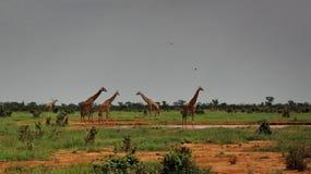 Czujne żyrafy w Tsavo wschodzie obraz royalty free