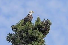 Czujny Łysy Eagle w drzewie obrazy royalty free