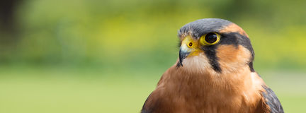 Czujny Aplomado jastrząbek & x28; Falco femoralis& x29; zdjęcia stock