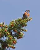 czujny bluebird western fotografia stock