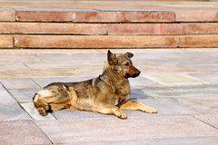 Czujny brązu psa lying on the beach na kamiennych cegiełkach zdjęcia stock