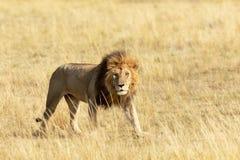 Czujny dorosły lew w Masai Mara zdjęcia stock