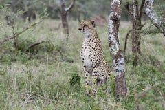 Czujny Dziki geparda Acinonyx jubatus na Serengeti obraz stock