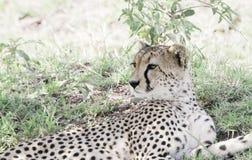 Czujny Dziki geparda Acinonyx jubatus na Serengeti zdjęcia stock