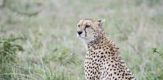 Czujny Dziki geparda Acinonyx jubatus na Serengeti fotografia stock