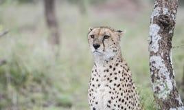 Czujny Dziki geparda Acinonyx jubatus na Serengeti obrazy royalty free