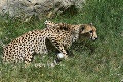 Czujny gepard Kucający w Wysokiej Zielonej trawie zdjęcie royalty free