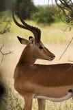 Czujny impala zdjęcie royalty free
