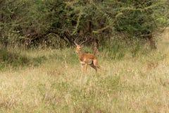 Czujny impala obraz royalty free