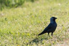 Czujny jackdaw ptak obrazy stock