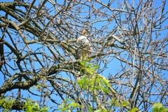 Czujny jastrząb w drzewie zdjęcia stock