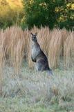 Czujny kangur obrazy stock