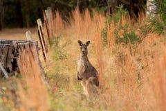 Czujny kangur zdjęcia royalty free