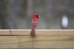 Czujny kardynał (2) zdjęcie stock