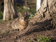 Czujny kot siedzi blisko starych drzewnych korzeni, słoneczny dzień obrazy stock