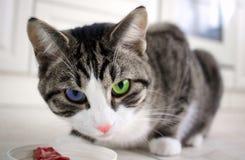 Czujny kot z stubarwnymi błękitnymi zielonymi oczami chroni posiłku mięso obraz stock
