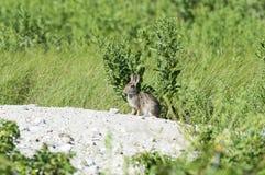 Czujny królik Fotografia Royalty Free
