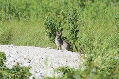 Czujny królik Obraz Royalty Free