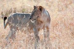 Czujny lew w Serengeti, Tanzania, Afryka - lwica - zdjęcie stock