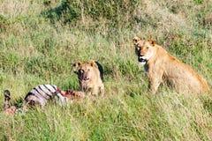 Czujny lwicy dopatrywanie za karmieniu lisiątko w Serengeti, Tanzania, Afryka, lwa ostrzeżenie, lwicy ostrzegać obrazy royalty free