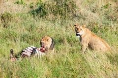 Czujny lwicy dopatrywanie za karmieniu lisiątko w Serengeti, Tanzania, Afryka, lwa ostrzeżenie, lwicy ostrzegać obraz royalty free