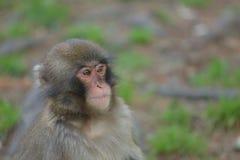 Czujny makak obserwuje otoczenia fotografia stock