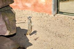 Czujny meerkat, Suricata obraz royalty free