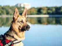 Czujny Niemiecki Pasterski pies, kobieta fotografia stock
