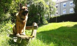Czujny Niemiecki Pasterski pies na ławce obrazy stock