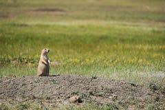 Czujny ogoniasty Preryjny pies od obszarów trawiastych parki narodowi, Kanada obraz stock