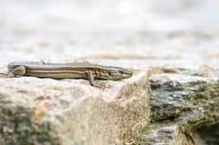 Czujny popielaty jaszczurki obsiadanie na jego skalistym domu Obraz Royalty Free