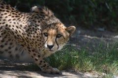 Czujny Przezornie geparda kot w Ciasnym Kuca zdjęcia royalty free