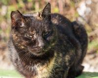 Czujny przybłąkany kot z poszarpanym ucho, portret zdjęcie stock