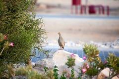 Czujny sandgrouse na Sir Bania Yas wyspie, UAE obrazy royalty free