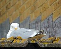 Czujny seagull zdjęcia stock