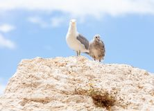 Czujny seagull i kurczątko obrazy royalty free