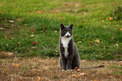 Czujny Szary kot zdjęcia stock