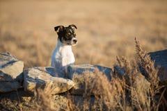 Czujny szczeniak za skały ścianą zdjęcie royalty free