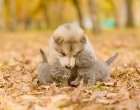 Czule śliczne figlarki i alaskiego malamute szczeniak w jesień parku Obraz Royalty Free