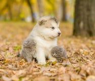 Czule śliczne figlarki i alaskiego malamute szczeniak w jesień parku Obrazy Stock