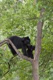 Czule Czarnego niedźwiedzia mama Obraz Royalty Free
