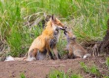 Czule Czerwoni lisy. Yellowstone park narodowy zdjęcie stock