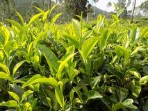 Czuli herbaciani liście obraz stock
