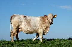 czyścić krowy nie prawdziwej Obrazy Stock